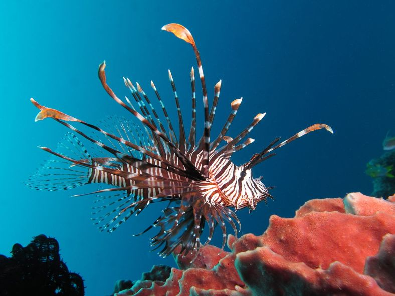 1200px-Red_lionfish_near_Gilli_Banta_Island
